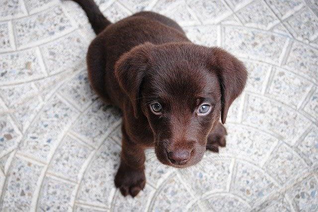 Buy a Puppy